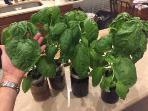 Giant Hydroponic Basil Plants